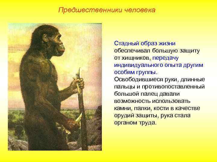 Предшественники человека   Стадный образ жизни   обеспечивал большую защиту