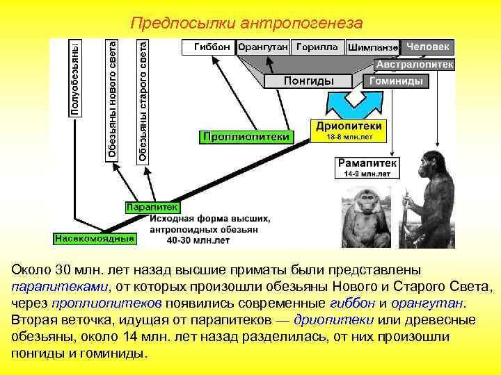 Предпосылки антропогенеза Около 30 млн. лет назад высшие приматы были