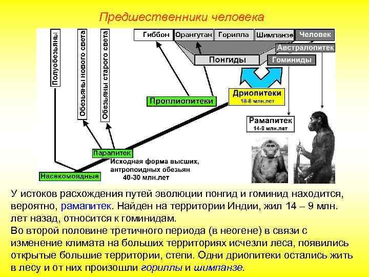 Предшественники человека У истоков расхождения путей эволюции понгид и гоминид