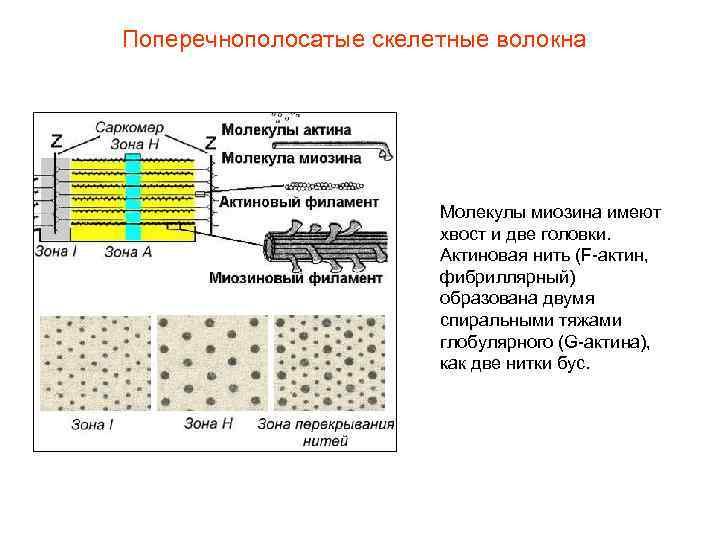 Поперечнополосатые скелетные волокна     Молекулы миозина имеют