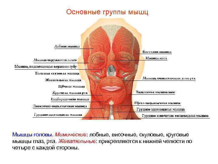 Основные группы мышц Мышцы головы. Мимические: лобные, височные, скуловые, круговые мышцы