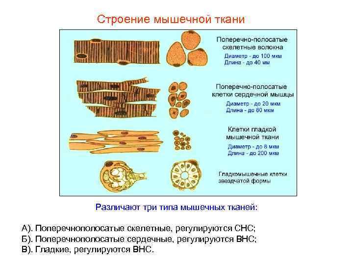 Строение мышечной ткани    Различают три типа мышечных