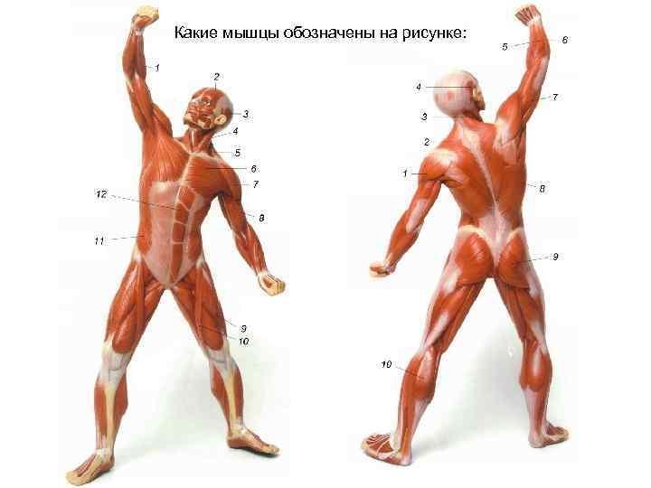 Какие мышцы обозначены на рисунке: