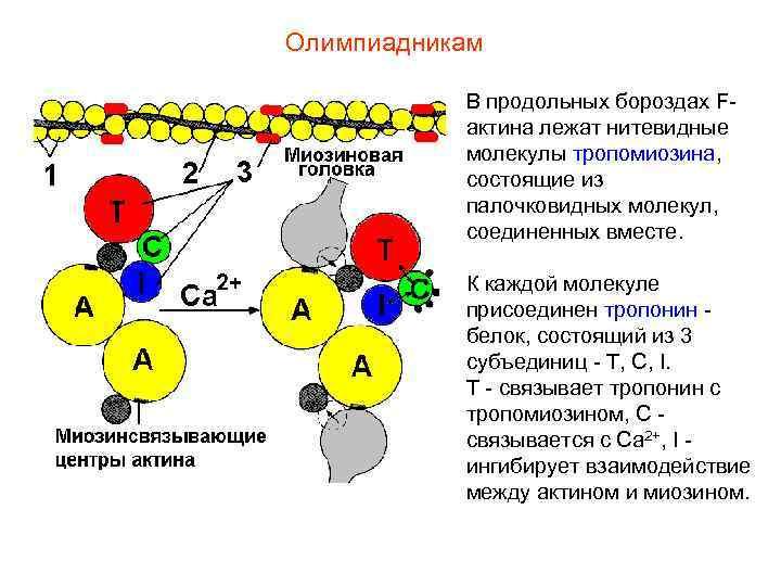 Олимпиадникам   В продольных бороздах F-  актина лежат нитевидные  молекулы тропомиозина,