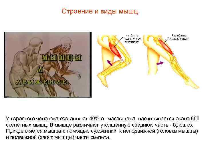 Строение и виды мышц У взрослого человека составляют 40%