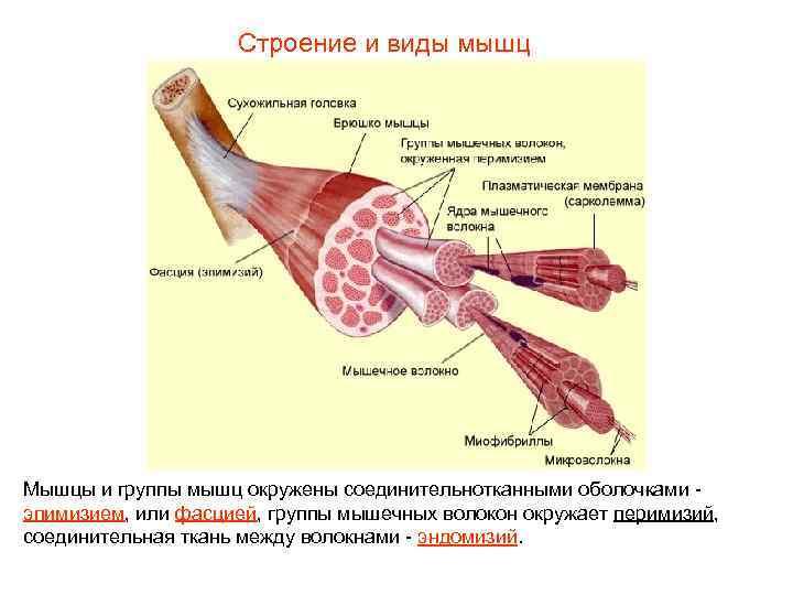 Строение и виды мышц Мышцы и группы мышц окружены соединительнотканными