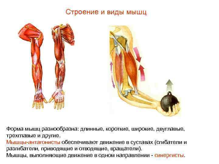 Строение и виды мышц Форма мышц разнообразна: длинные, короткие, широкие,