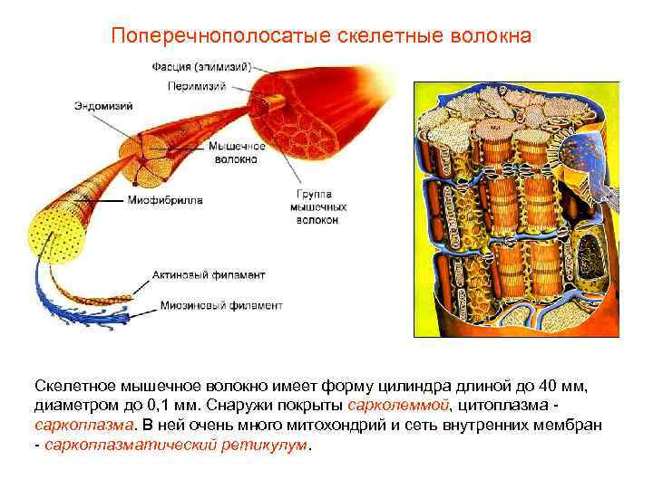 Поперечнополосатые скелетные волокна Скелетное мышечное волокно имеет форму цилиндра длиной до