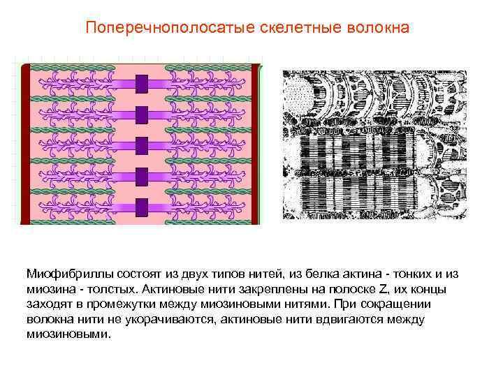 Поперечнополосатые скелетные волокна Миофибриллы состоят из двух типов нитей, из белка