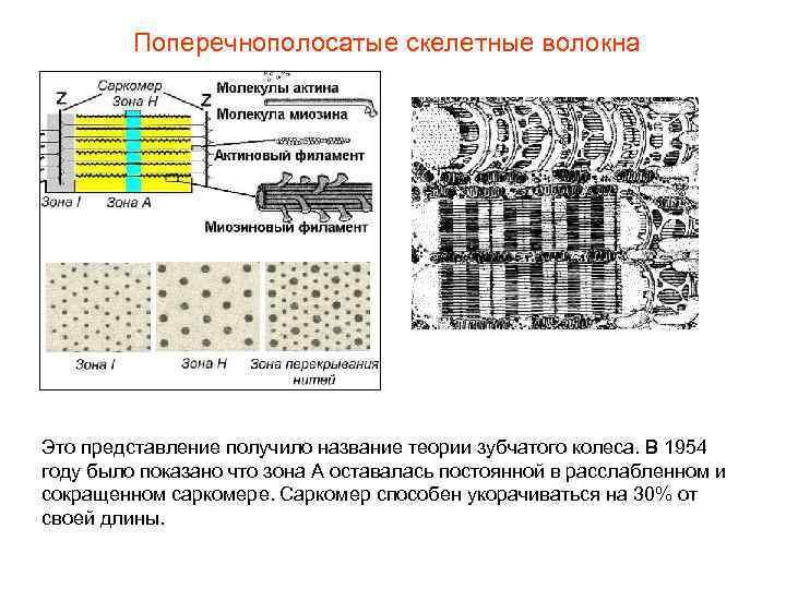 Поперечнополосатые скелетные волокна Это представление получило название теории зубчатого колеса. В