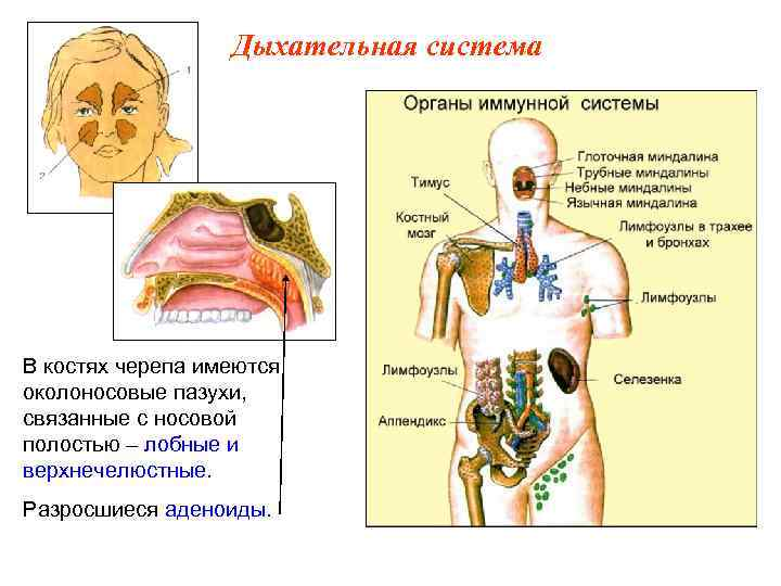 Дыхательная система В костях черепа имеются околоносовые пазухи, связанные с носовой