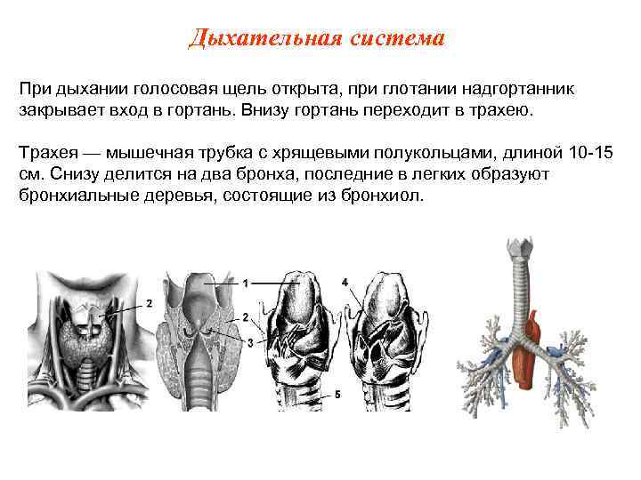 Дыхательная система При дыхании голосовая щель открыта, при глотании надгортанник закрывает