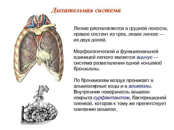 Дыхательная система  Легкие располагаются в грудной полости,  правое состоит из трех, левое