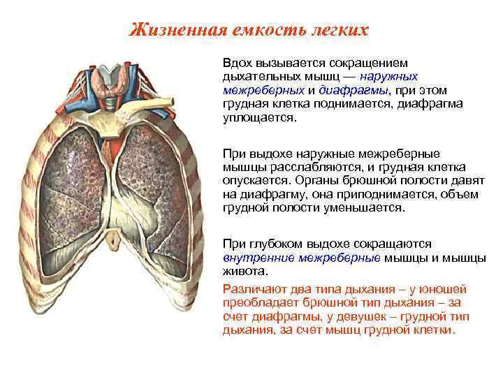 Жизненная емкость легких   Вдох вызывается сокращением   дыхательных мышц — наружных