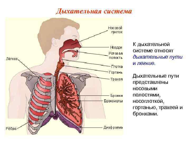 Дыхательная система     К дыхательной    системе относят