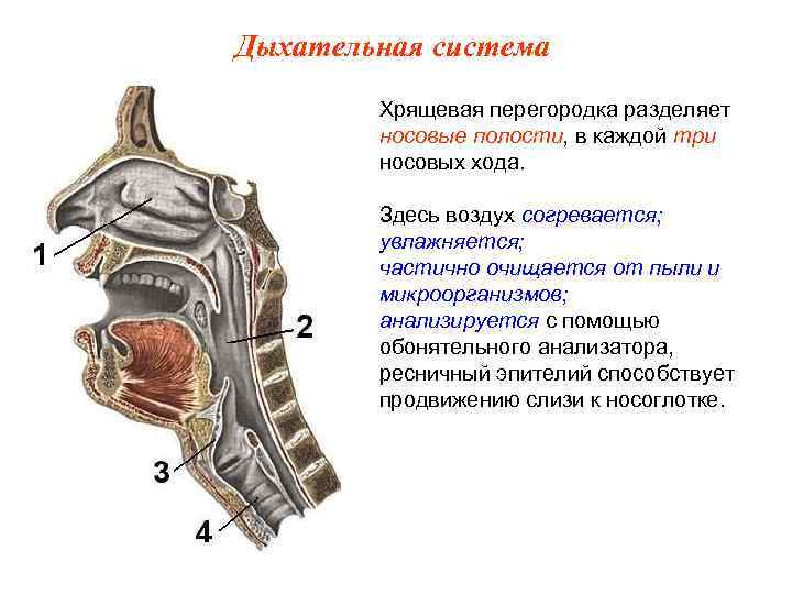 Дыхательная система   Хрящевая перегородка разделяет   носовые полости, в каждой три