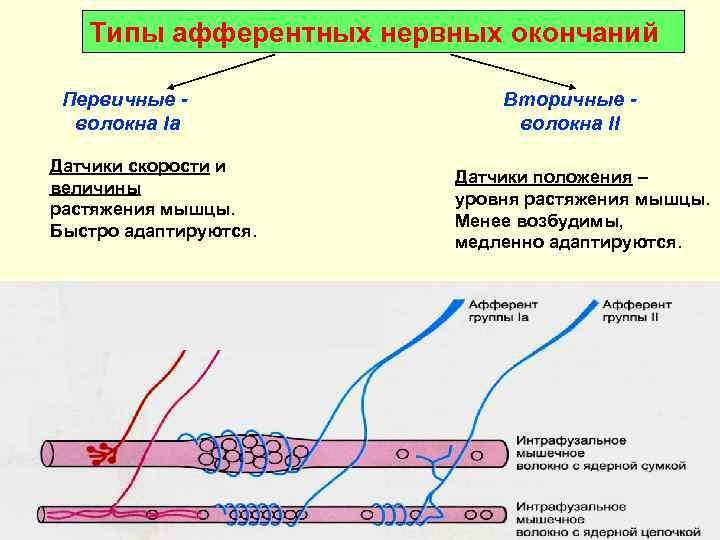 Типы афферентных нервных окончаний  Первичные -    Вторичные -