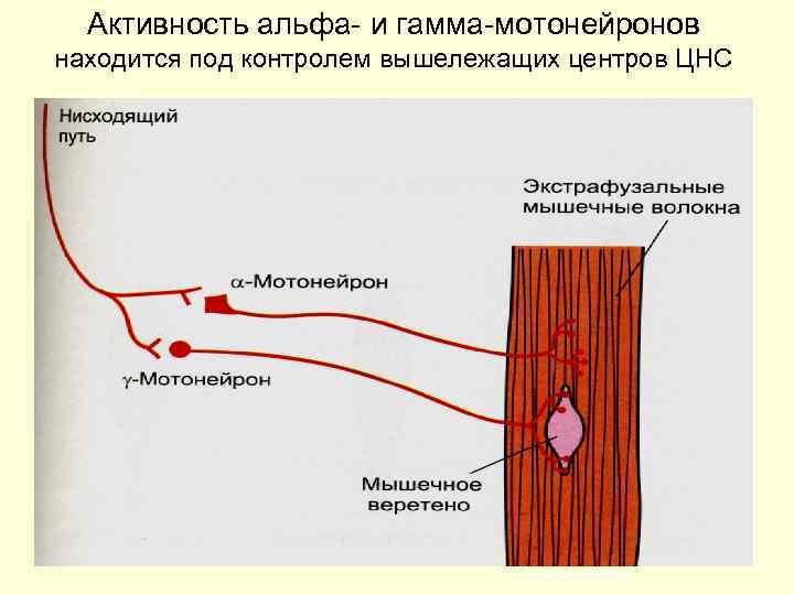 Активность альфа- и гамма-мотонейронов находится под контролем вышележащих центров ЦНС