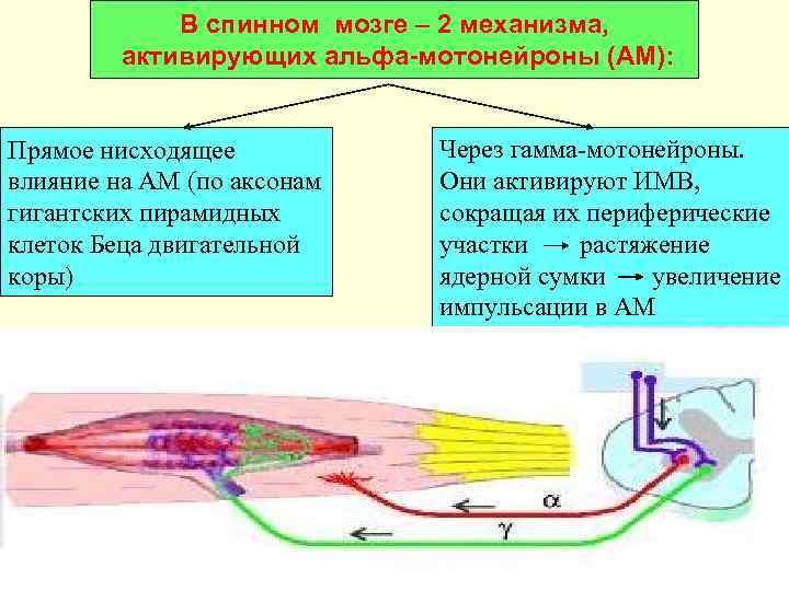 В спинном мозге – 2 механизма,  активирующих альфа-мотонейроны (АМ):