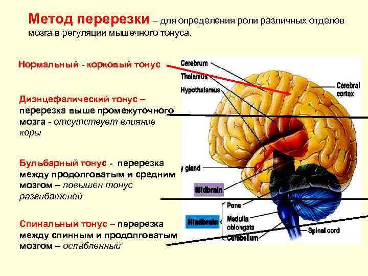 Метод перерезки – для определения роли различных отделов мозга в регуляции мышечного тонуса.