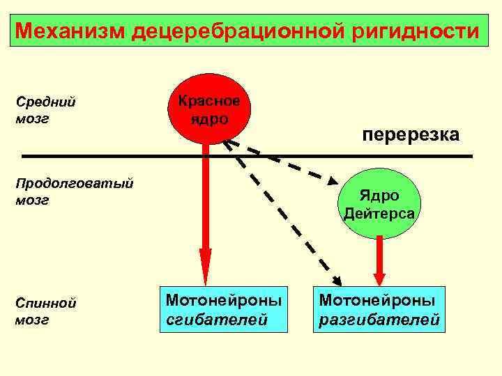 Механизм децеребрационной ригидности  Средний   Красное мозг   ядро