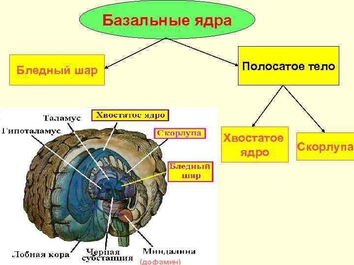 Базальные ядра  Бледный шар     Полосатое тело