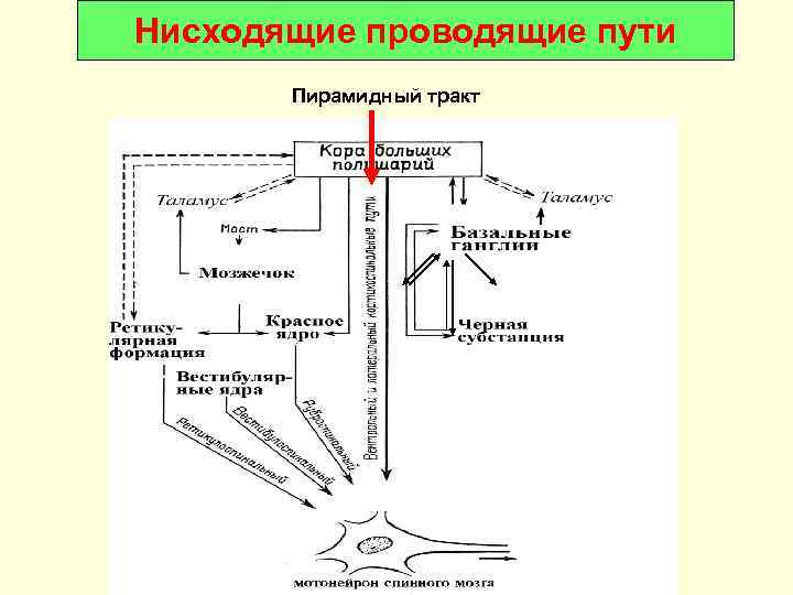 Нисходящие проводящие пути  Пирамидный тракт