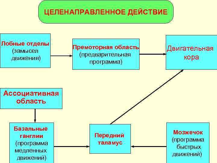 ЦЕЛЕНАПРАВЛЕННОЕ ДЕЙСТВИЕ  Лобные отделы   Премоторная область  Двигательная