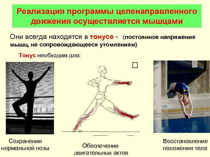 Реализация программы целенаправленного  движения осуществляется мышцами  Они всегда находятся в