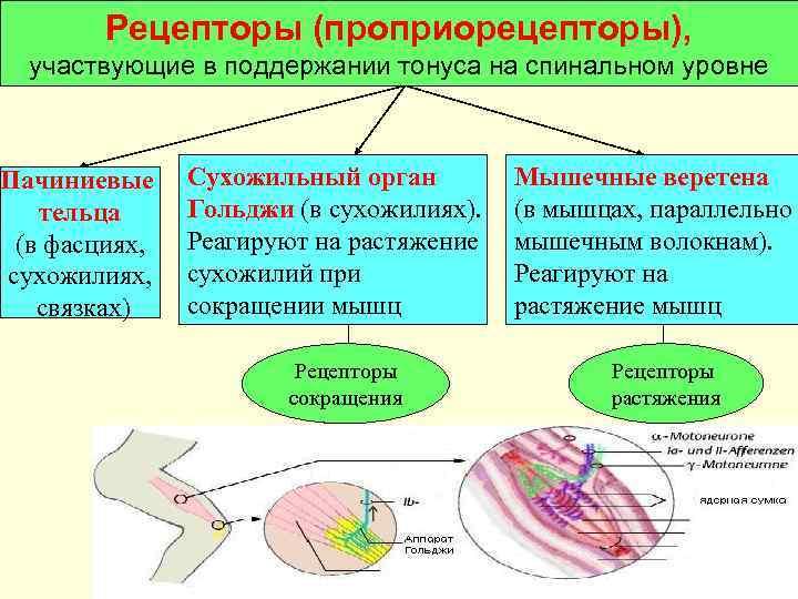 Рецепторы (проприорецепторы),  участвующие в поддержании тонуса на спинальном уровне  Пачиниевые