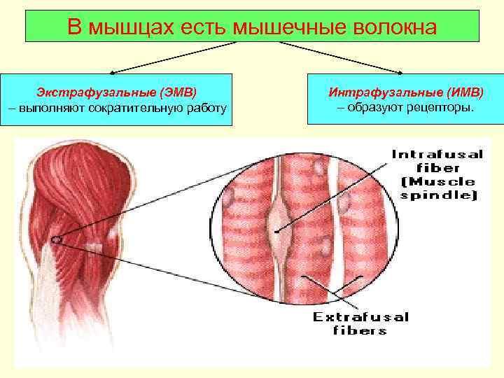 В мышцах есть мышечные волокна Экстрафузальные (ЭМВ)  Интрафузальные (ИМВ) – выполняют