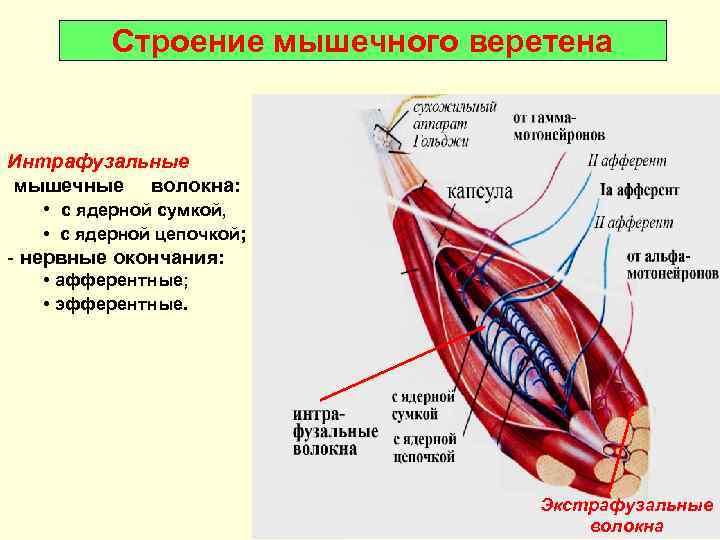 Строение мышечного веретена  Интрафузальные мышечные волокна:  • с ядерной