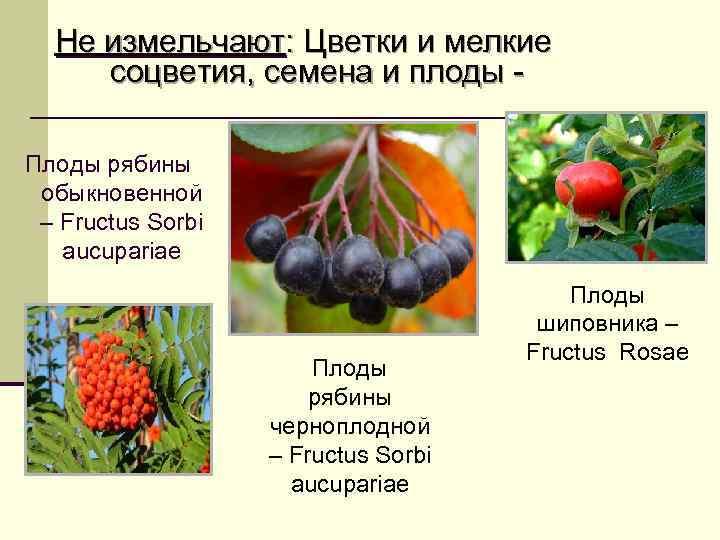 Не измельчают: Цветки и мелкие соцветия, семена и плоды - Плоды рябины обыкновенной
