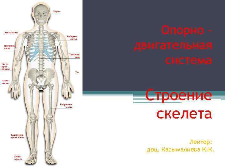 Опорно - двигательная система  Строение  скелета    Лектор: