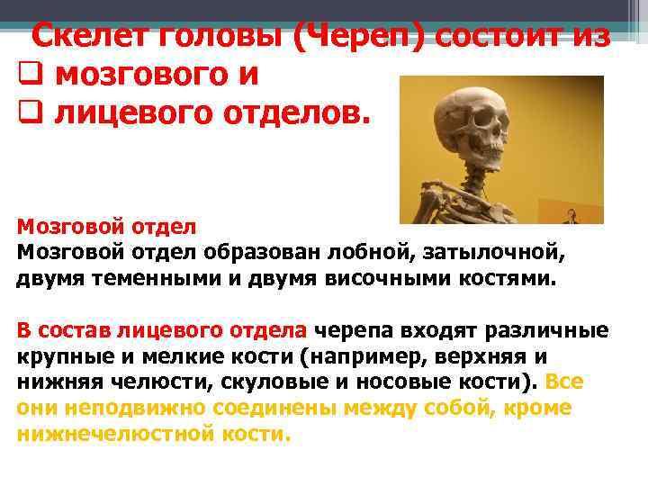 Скелет головы (Череп) состоит из q мозгового и q лицевого отделов.  Мозговой