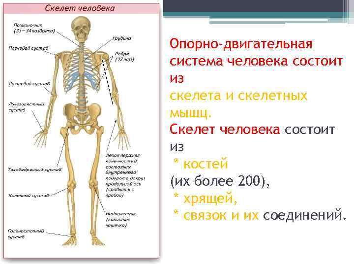Опорно-двигательная система человека состоит из скелета и скелетных мышц. Скелет человека состоит из *