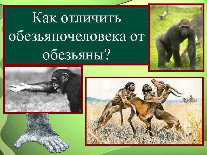 Как отличить обезьяночеловека от обезьяны?