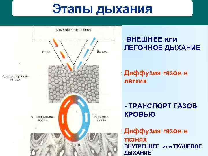 Этапы дыхания  -ВНЕШНЕЕ или   ЛЕГОЧНОЕ ДЫХАНИЕ  Диффузия газов в