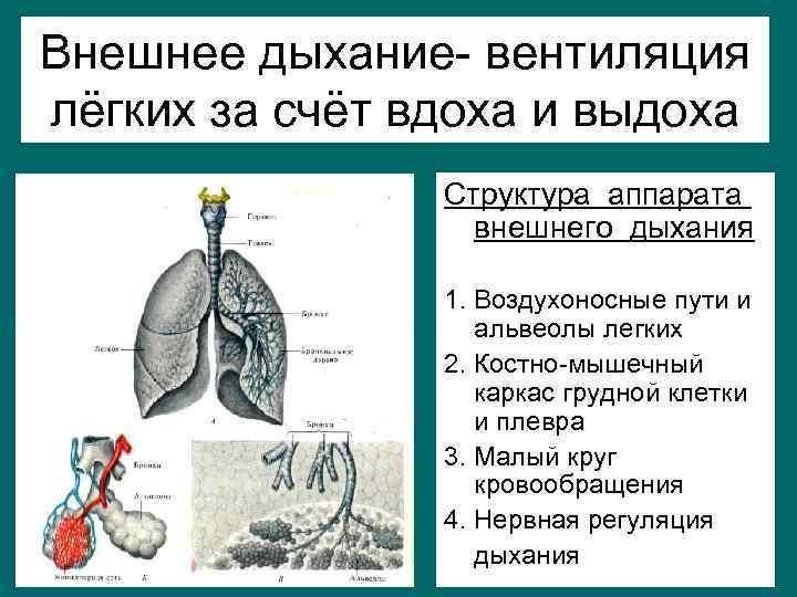 Внешнее дыхание- вентиляция лёгких за счёт вдоха и выдоха   Структура аппарата