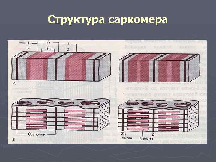 Структура саркомера