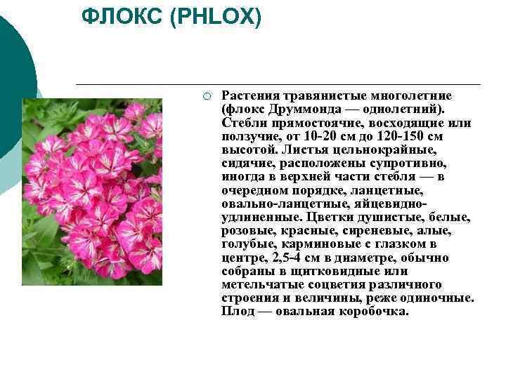 ФЛОКС (PHLOX)   ¡  Растения травянистые многолетние    (флокс Друммонда