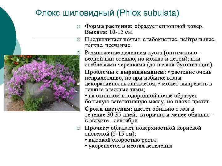 Флокс шиловидный (Phlox subulata)   ¡  Форма растения: образует сплошной ковер.