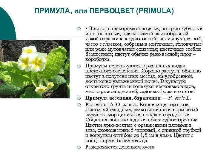 ПРИМУЛА, или ПЕРВОЦВЕТ (PRIMULA)   ¡  • Листья в прикорневой розетке, по