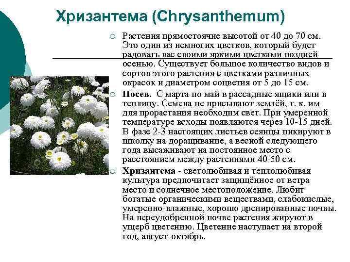 Хризантема (Chrysanthemum)  ¡  Растения прямостоячие высотой от 40 до 70 см.
