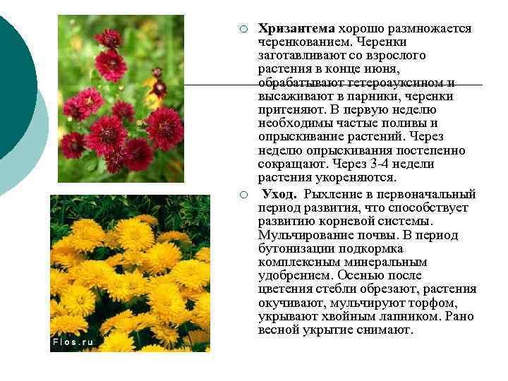 ¡  Хризантема хорошо размножается черенкованием. Черенки заготавливают со взрослого растения в конце июня,