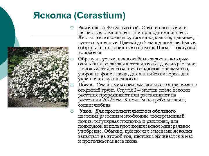 Ясколка (Cerastium)  ¡  Растения 15 -30 см высотой. Стебли простые или