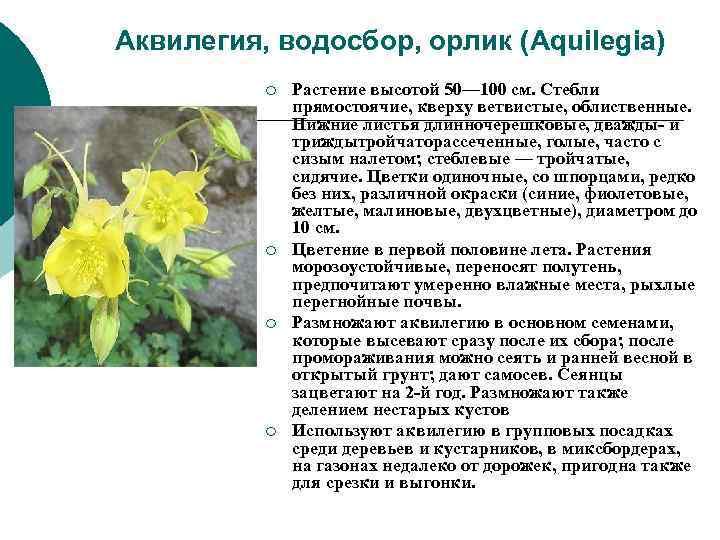 Аквилегия, водосбор, орлик (Aquilegia)  ¡  Растение высотой 50— 100 см. Стебли