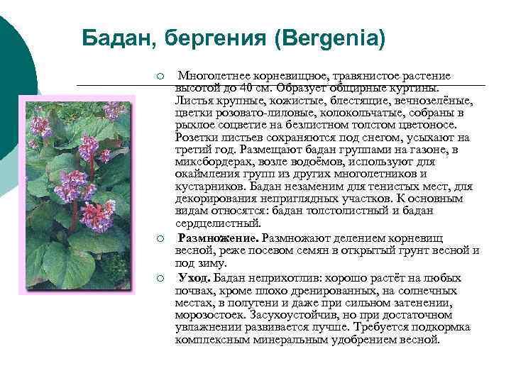 Бадан, бергения (Bergenia)  ¡  Многолетнее корневищное, травянистое растение  высотой до 40
