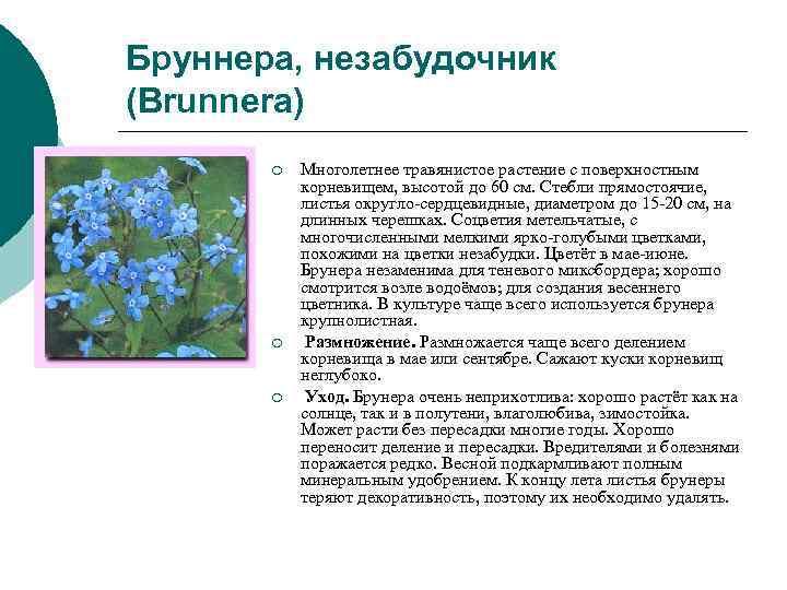 Бруннера, незабудочник (Brunnera)  ¡  Многолетнее травянистое растение с поверхностным   корневищем,