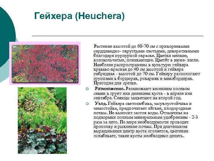 Гейхера (Heuchera)    Растение высотой до 60 -70 см с прикорневыми